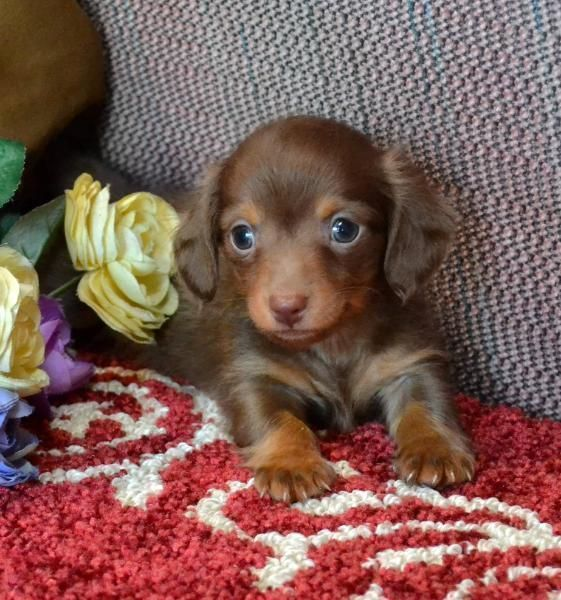 Chocolate And Tan Shorthair Miniature Dachshund Dachshund Dachshund Puppy Miniature Dachshund Breed Dachshund