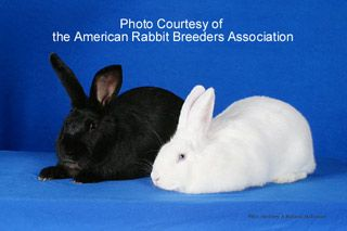 *WATCH* The Beveren was recognized in 1898 and was named after the town of its origin in the Waas region of western Belgium. Today's Beveren is recognized in three color varieties: solid blue, solid black, and a blue-eyed white. They are certainly a multi-purpose rabbit used for meat and fur. Litters are large, the young grow fairly fast, and the does are typically docile and make good mothers. The Beveren is a hardy breed that is easily reared in all wire hutches.