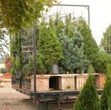 Comparing Evergreen Varieties for Christmas Trees. Which Tree Suits Your Needs the best?