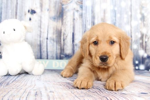 Golden Retriever Puppy For Sale In Naples Fl Adn 60363 On