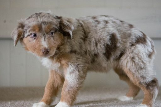 Australian Shepherd Puppy For Sale In Kent Oh Adn 64246 On