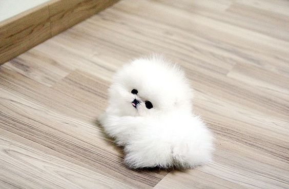 Top quality teacup pomeranian puppy by Bow Pup, via Flickr SOOOO CUTE!