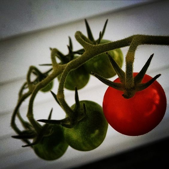 #Cherry #tomatoes #ripening #onedown #moretogo #green #red #vignette #lofi #brightness filters Photo by Henrietta_Marcella