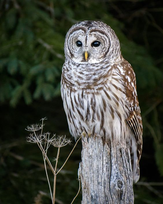 barred owl by Sinisa Popovic / 500px
