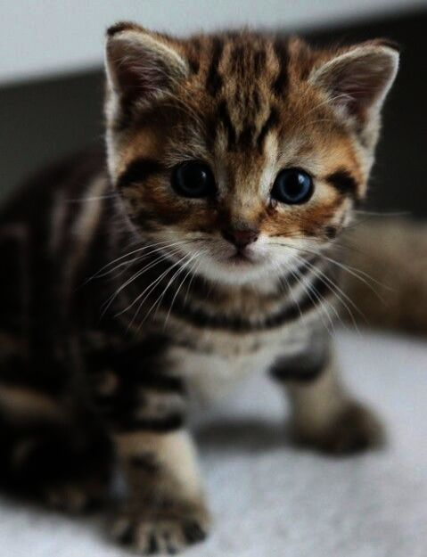 Cats And Kittens For Sale In Singapore Cats And Kittens Pictures Kittens Cutest Baby Cats Kittens