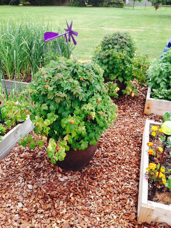 Wood chips as ground cover highlight the raspberry