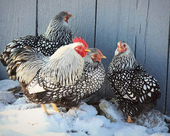 Chickens hate snow