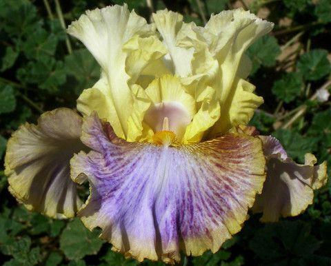 Pattern Play - Sutton's Iris Garden