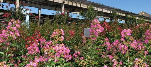Buying Crape Myrtles and Panicle Hydrangeas in Bloom