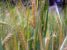 Getreide – Wikipedia