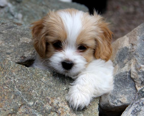 cavalier king charles spaniel and Japanese chin mix