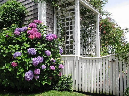 Hydrangeas, want these in front of my house!!