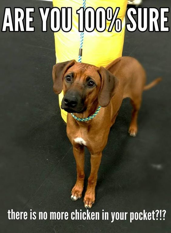 This Is A Photo Study Of The Rhodesian Ridgeback Not All Photos Are Mine But Were Found On The Internet Rhodesian Ridgeback Top Dog Breeds Funny Animals