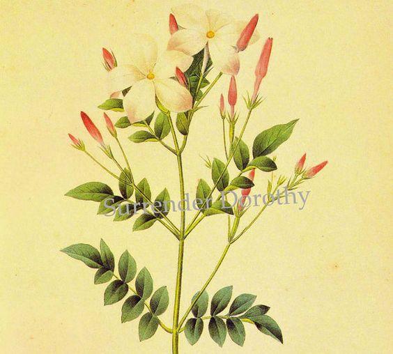 Royal+Jasmine+Flower+Jasminum+Grandiflorum+by+SurrenderDorothy,+$11.89