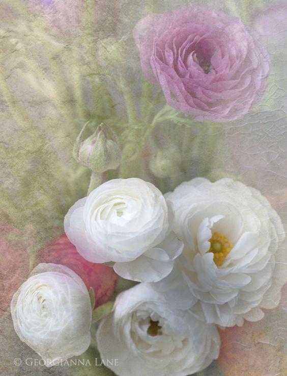 Ranunculus, incredibly beautiful photography of Georgianna Lane