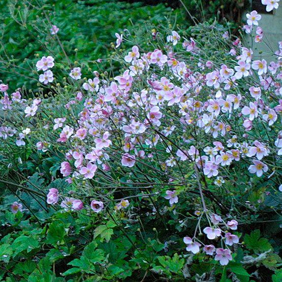 Anemoni hupehensis var. japonica 'Whirlwind'
