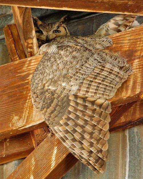great horned owl on nest, awesome!