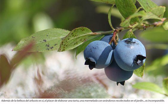 Fruto de arándanos