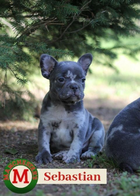 Find Out More On The Adaptable French Bulldog Dogs Health