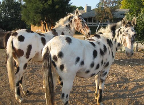 spotted mules: mules are a cross between a donkey and a horse.: