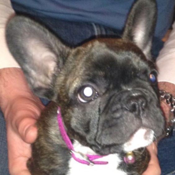 Lola just came home... French Bulldog.