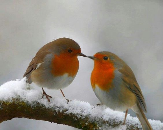 Oiseau Rouge Gorge Couleurs Orange Gris Couple Oiseaux