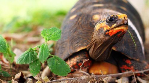 What's a Red-Footed Tortoise? , http://www.amazon.com/dp/B00H8YG8MK/ref=cm_sw_r_pi_dp_5ZAgvb0DRN2H7