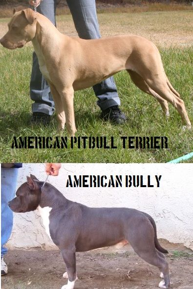 american staffordshire terrier vs - photo #3