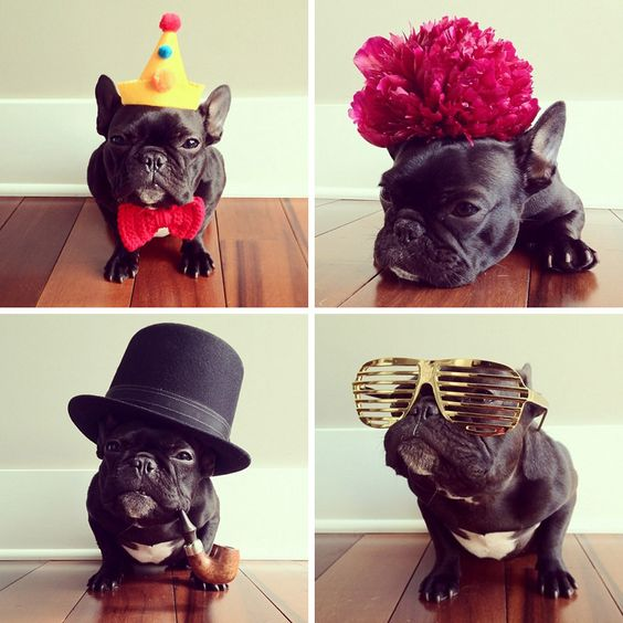 Trotter the French Bulldog