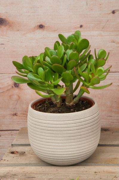 Jade plant (Crassula ovata- 'Hummel's Sunset')