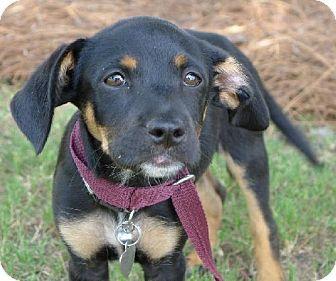 Helena, AL - Rat Terrier Mix. Meet Rosie a Puppy for Adoption.