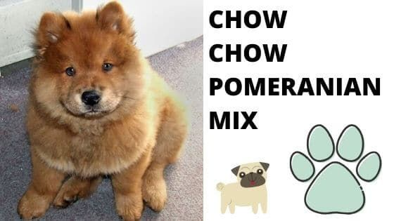 Chow Chow Pomeranian Mix All You Need To Know Pictures 21 Crossbreed Dogs That Will Make You Want Your Own Mutt Pomeranian Mix Dog Crossbreeds Chow Dog Breed