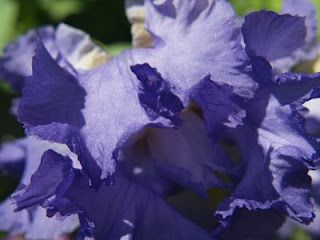 Iris - I call them Flags - have some from the farm where I grew up in my gardens.