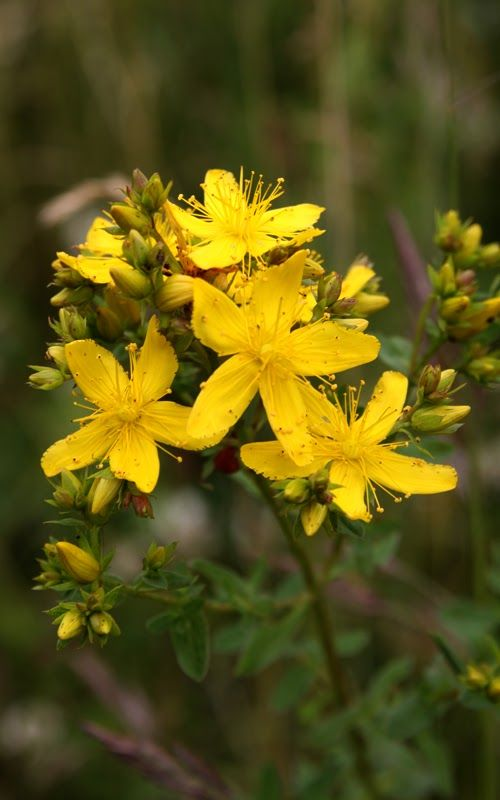 """St John's Wort - Hypericum perforatum - NL: St Janskruid / F: millepertuis - St John's Wort (SJW) is another powerful herb with a long history as folk medicine. In our days St John's Wort got great media attention for aiding in the treatment of those suffering from depression, being known as the """"natural prozac"""". Long before SJW got to be used to treat depression, it was considered to be ..."""