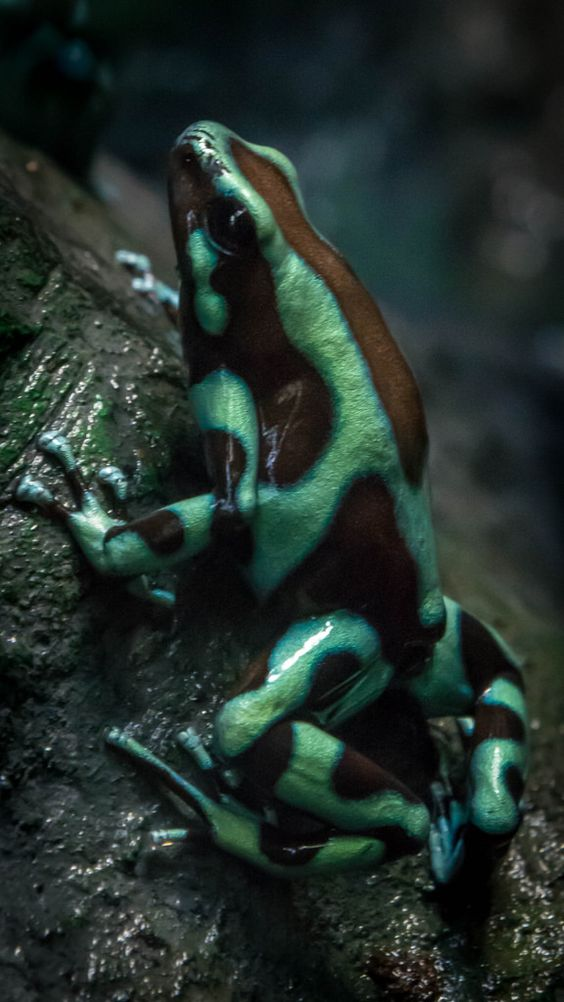 Poisons, Poison dart frogs and Dart frogs on Pinterest Poisonous Green Frogs In Texas