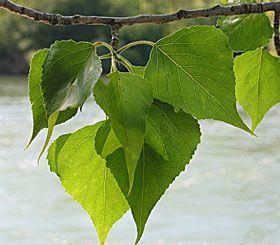 Blätter der Schwarzpappel