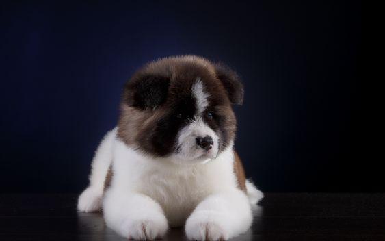Lataa Kuva Kaukasian Paimenkoira Pikku Sopo Pentu Valkoinen Musta Pieni Koira Lemmikit Cuccioli Di Cani Cuccioli Animali Domestici