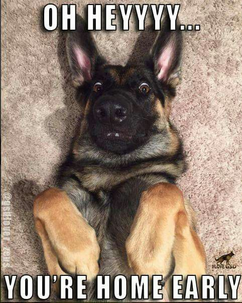 German Shepherd Puppies For Dog Lovers Check Out This Hilarious
