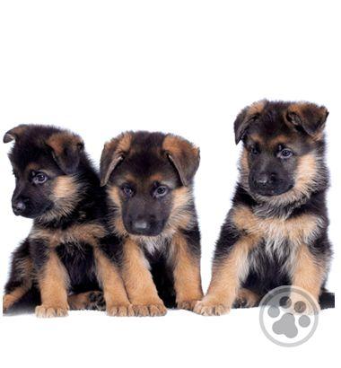 Cachorritos Pastor Aleman