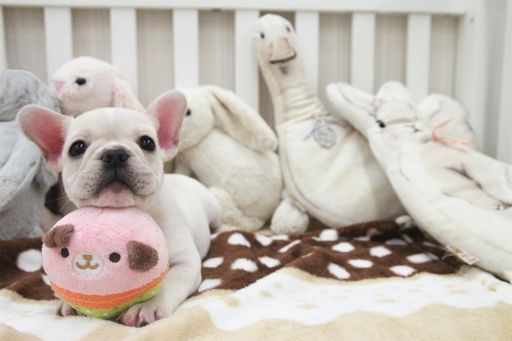 French Bulldog Puppy For Sale In San Jose Ca Adn 57831 On