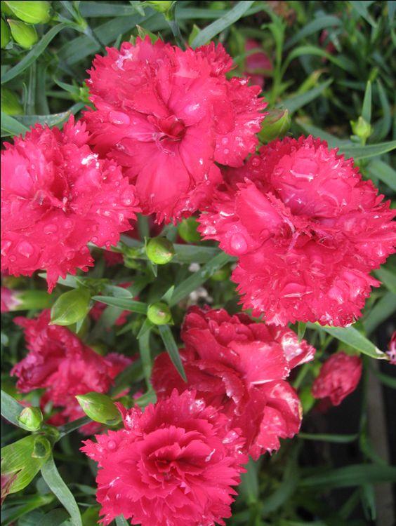OnlinePlantGuide.com 14827 Scientific Name:Dianthus caryophyllus 'Garden Spice' Common Name:Garden Spice Carnation Leaf Type:Broadleaf