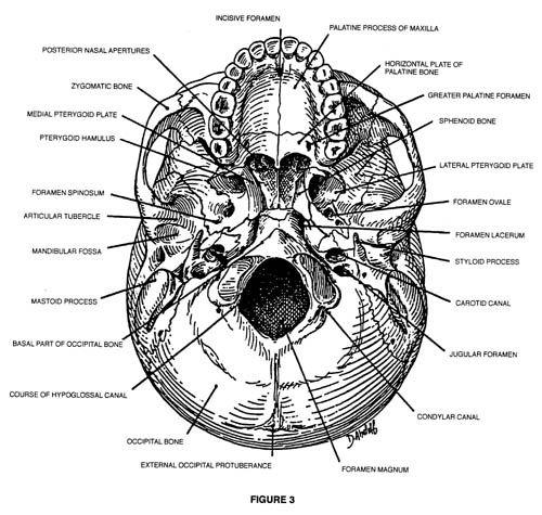 skull landmarks | THE INFRATEMPORAL AND PTERYGOPALATINE FOSSAE ...