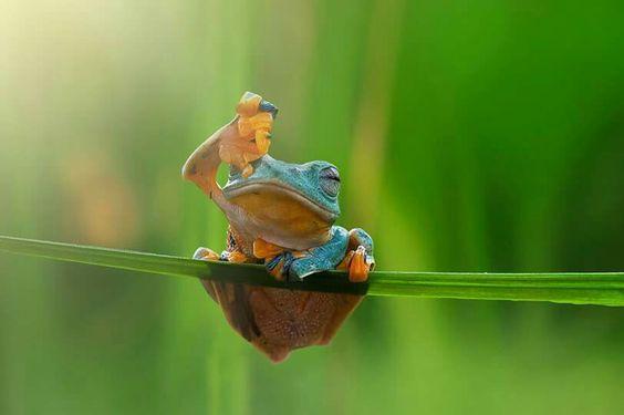 Rana verde. Foto de Rob Fly