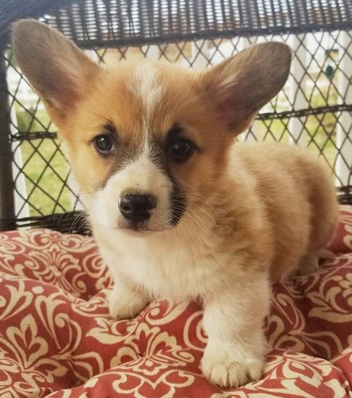 Pembroke Welsh Corgi Puppies Sale Welsh Corgi Puppies Corgi Dog