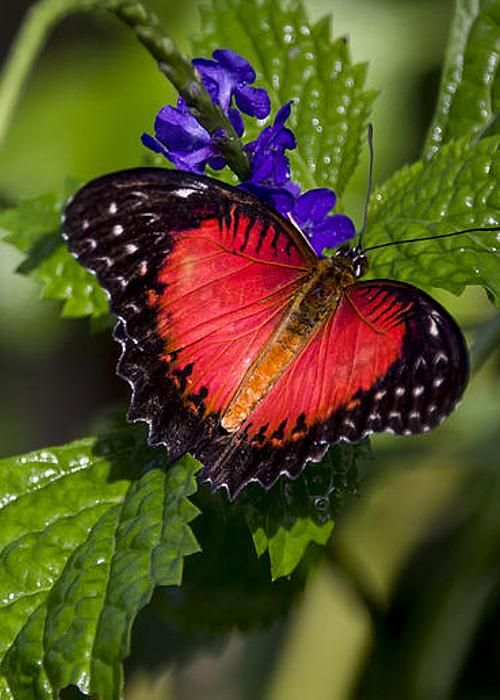 Valentine Butterfly Greeting Card Beautiful Nature And
