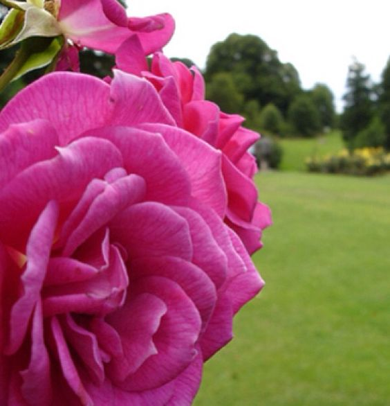 Roses in Lady Dickson Park