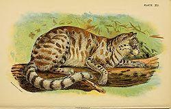 El colocolo,2 3 gato de los pajonales o gato montés4 (Leopardus colocolo) es un pequeño felino rayado nativo de la zona occidental central de América del Sur, que se extiende desde Colombia, Ecuador, Bolivia, Perú, Brasil, Paraguay, Uruguay, Chile y a través de la Cordillera de los Andes en Argentina.1