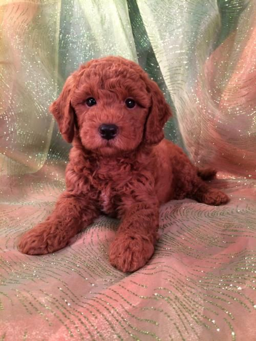 Ready Soon Dark Red Bichon Poo Puppies Big Sale Only 250 For