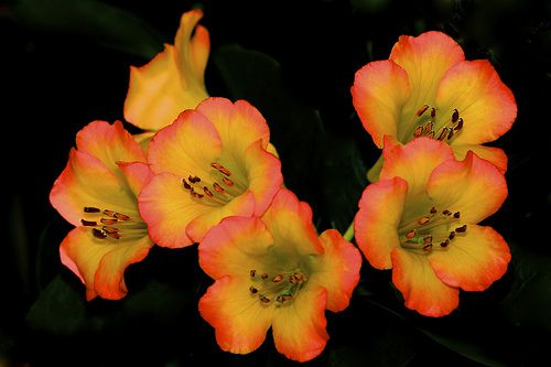 Vireya Rhododendron - Flickr - Photo Sharing!