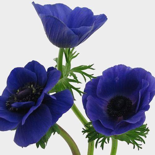 Anemone Blue Flowers 50 Stems Anemone Flower Anemone Blue Flowers
